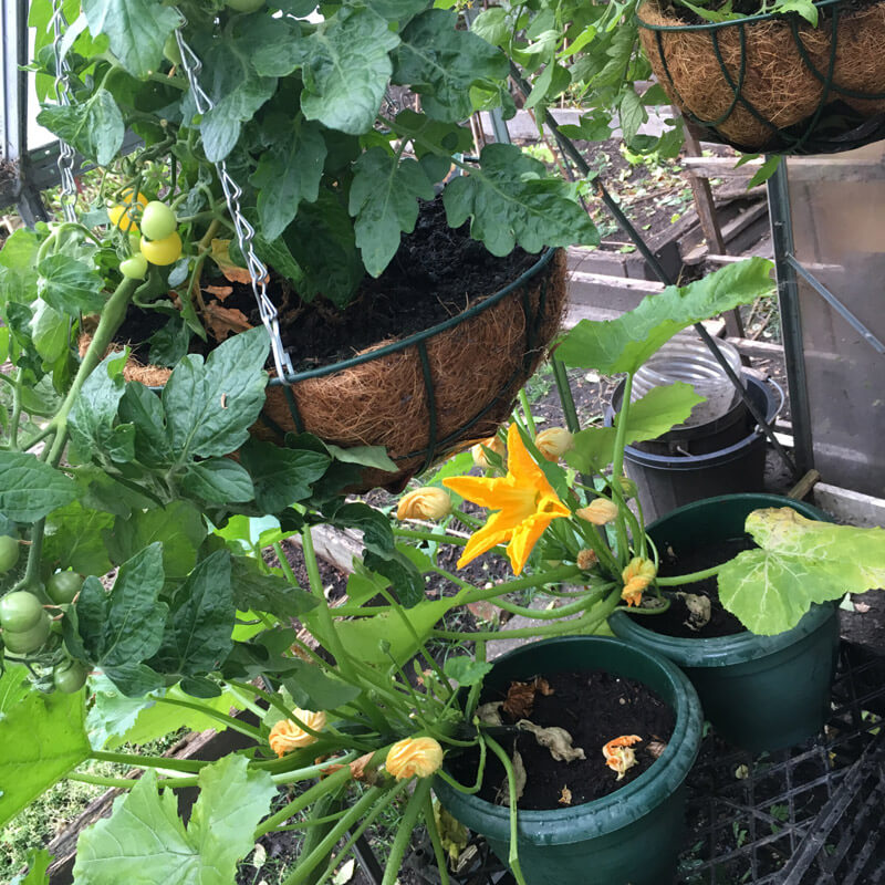 Growing tomatoes and courgettes in the greenhouse
