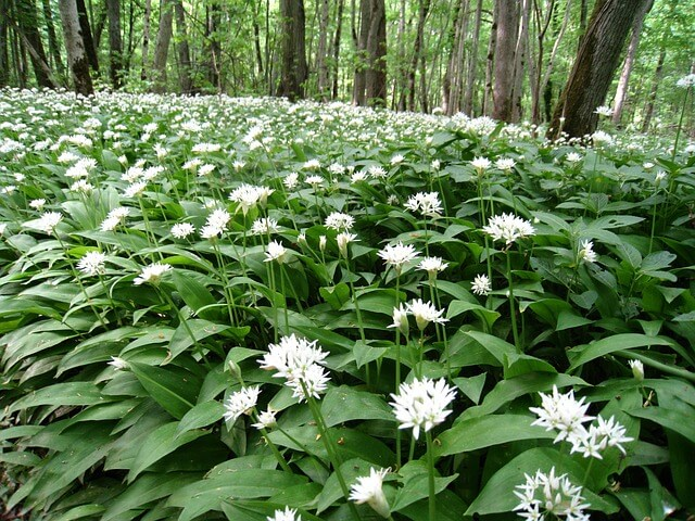 Wild garlic grows in damp shaded woodland