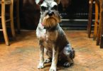 Picture of Miniature Schnauzer Ricci